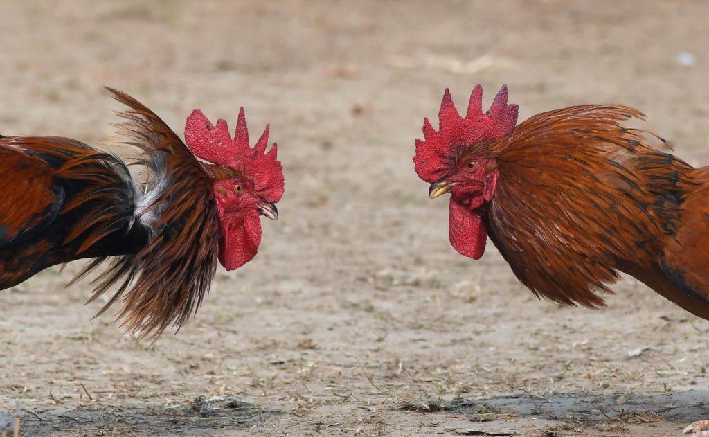 Judi Sabung Ayam Online Terbaik s128