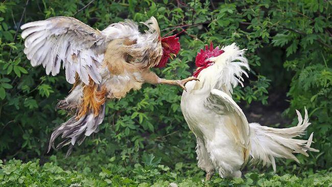 Ayam yang Lengkap